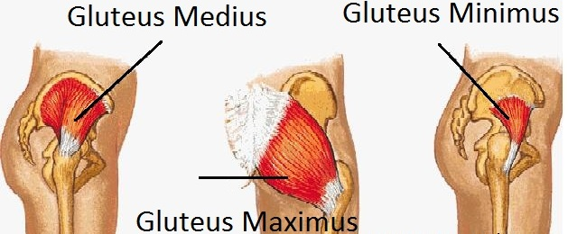 the glute muscles
